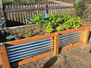 raised garden bed with corrugated steel and wood