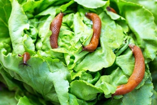 gardening tip repel four slugs eating garden lettuce with coffee grounds