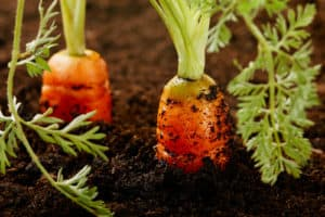 Carrots best vegetable to plant in container