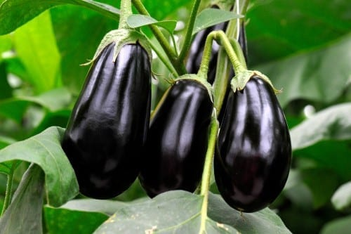 three purple eggplants ready to harvest from vine