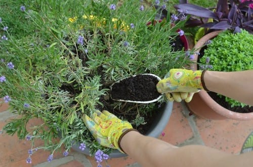 gloved hands adding a scoopful of fertilizer to a potted plant