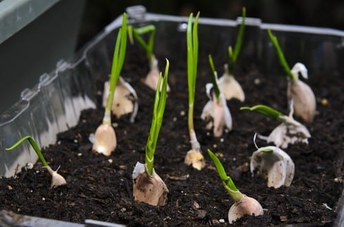 garlic is a great vegetable to plant in containers