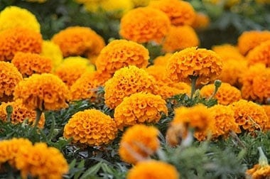 Marigold Flowers are mosquito repellant