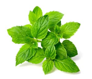 Peppermint Leaves are mosquito repellant