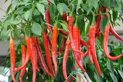 Peppers are one of the best vegetables to plant in containers