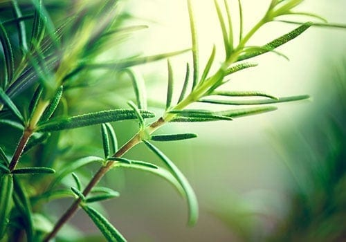 Rosemary Plant is a Mosquito Repellant