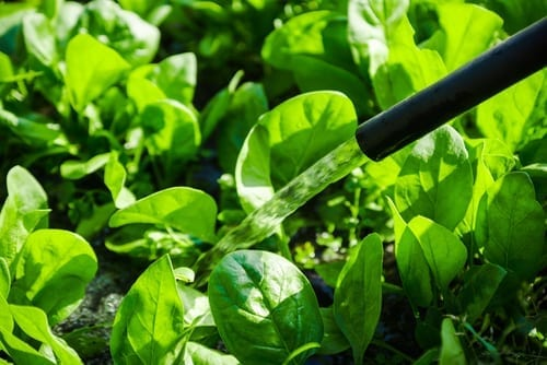 young spinach leaves are being watered