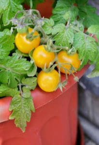 ripe yellow cherry tomatoes growing in pot