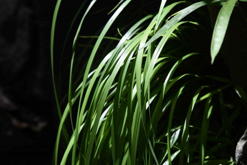 plants for low light conditions sedge grass is set against the dark