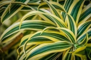 houseplant for bathroom grasslike corn plant with green leaves edged with brilliant yellow