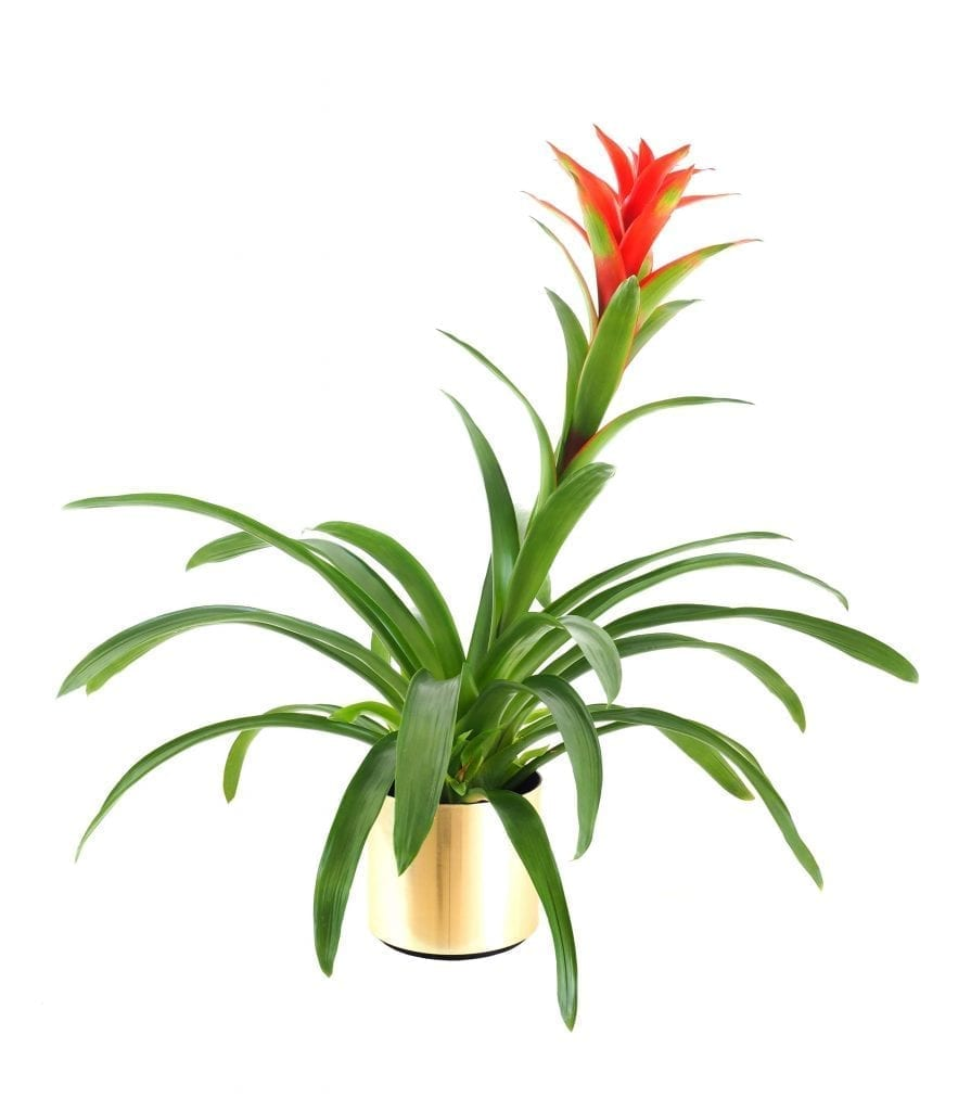 plants for low light conditions bromeliad with red flower in pot