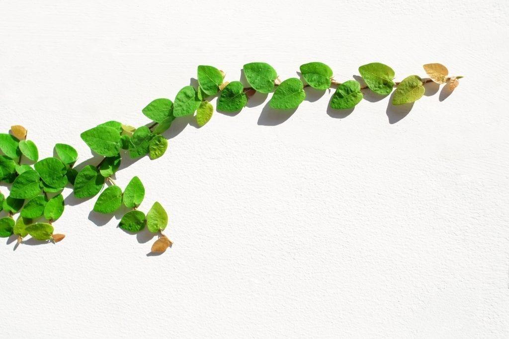 creeping fig vine on white background