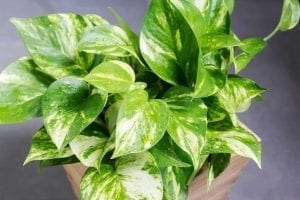golden pothos in a pot will aid sleep