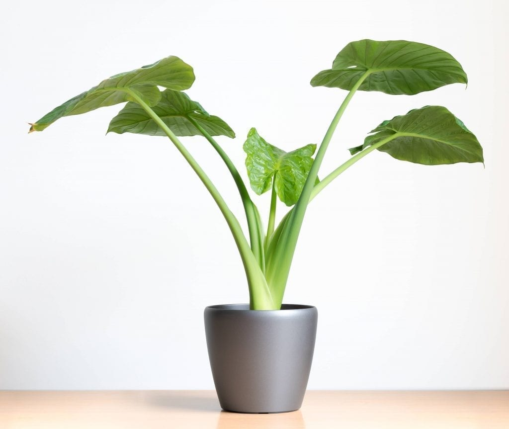 elephant ear plant in gray pot on a table