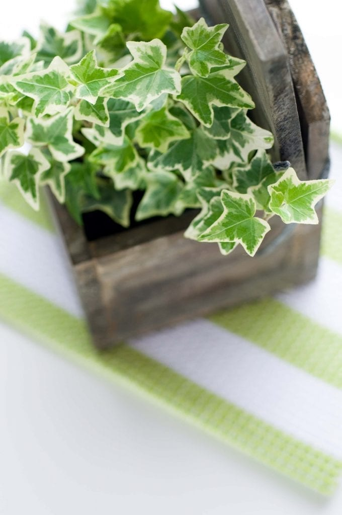 Ivy with green leaves, white edges in a wooden box