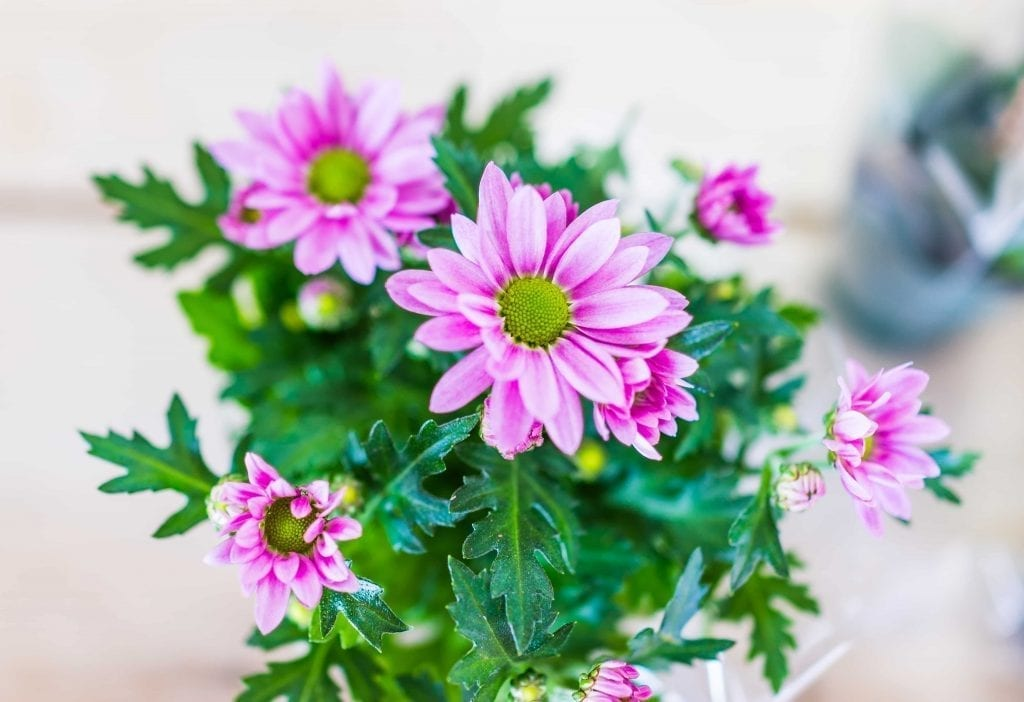 closeup-of-flower-pot-with-pink-or-purple-gerbera-daisies