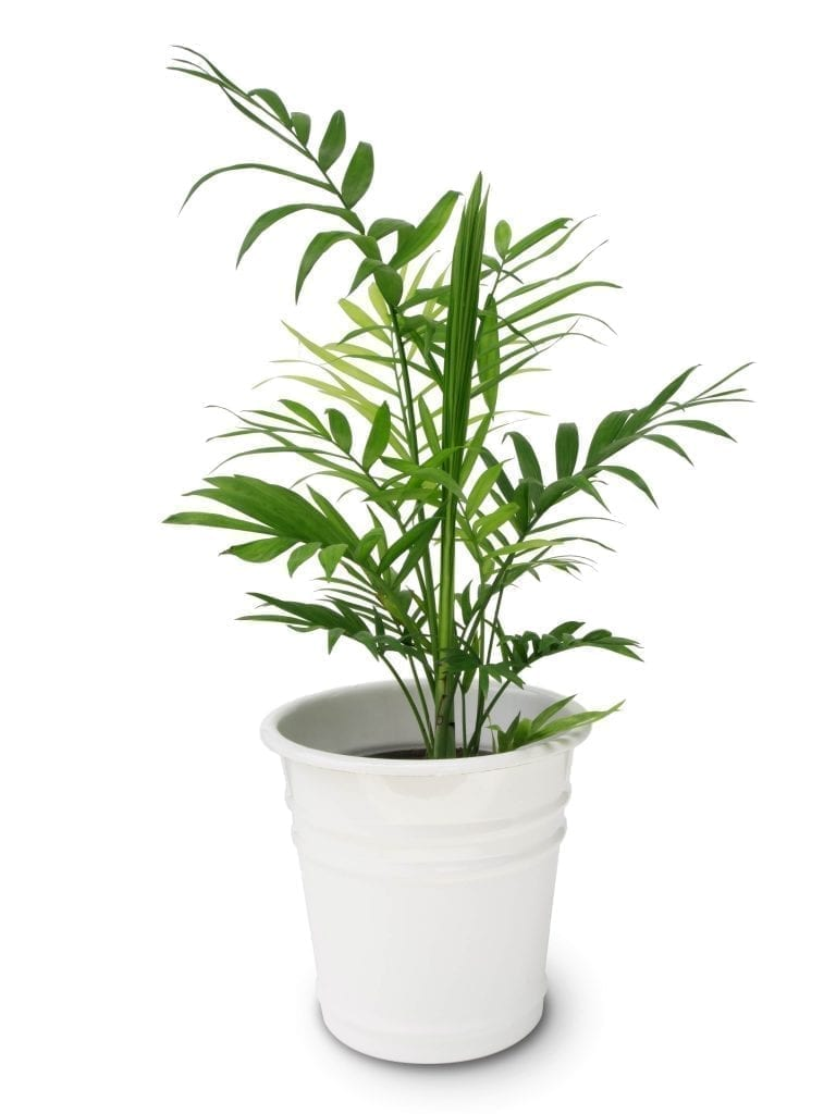 bamboo palm plant in white pot with white background