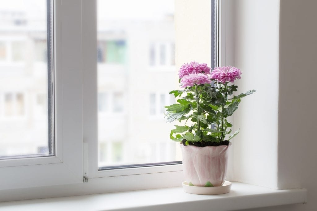 pink chrysanthemums in pot on window sill