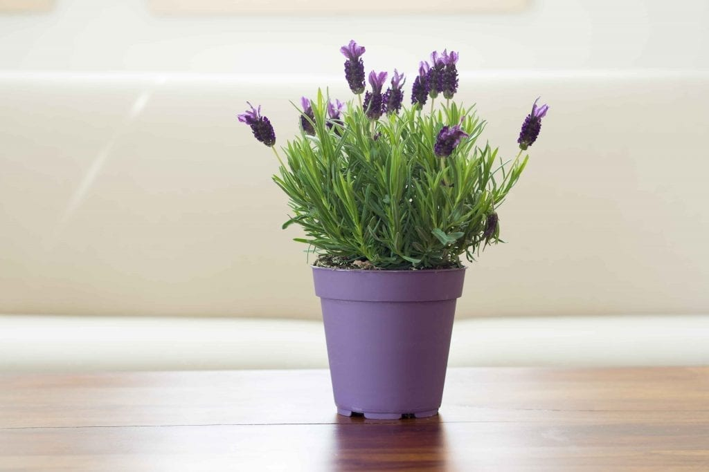 lavender plant with flowers in purple pot on a table