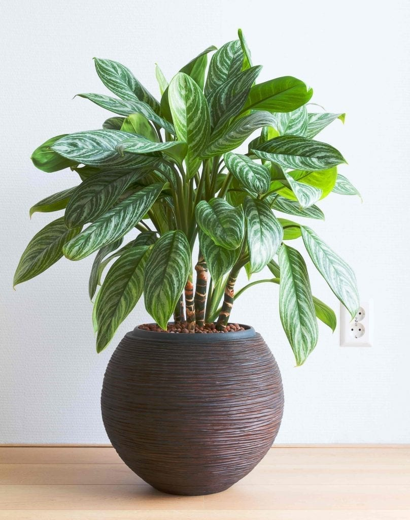 Chinese evergreen easy houseplant in brown pot by white wall