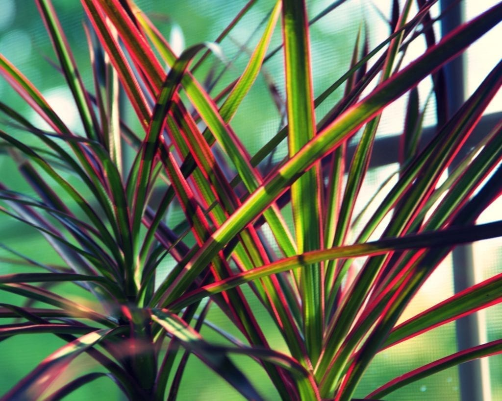 dragon tree has green leaves with red edges