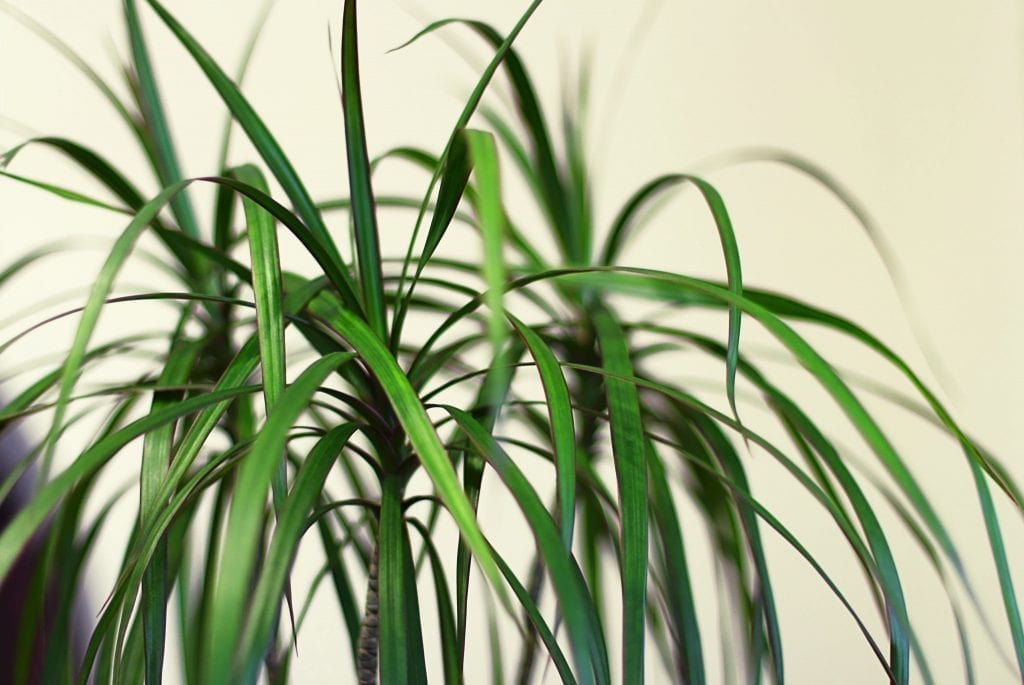 Dracaena plant with light background