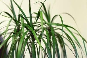 Dracaena plant with light background