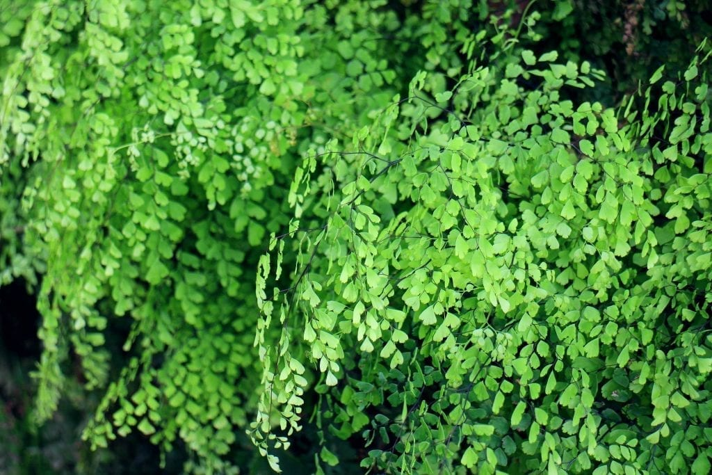 plants for low light conditions green maidenhair fern in a pot