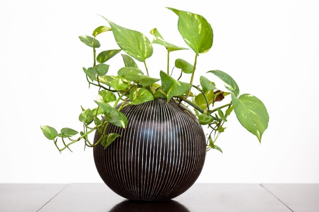 golden pothos plant in a dark pot on a table