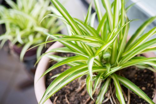 Green-and-white-striped-Leaves-Of-Spider-Plant-