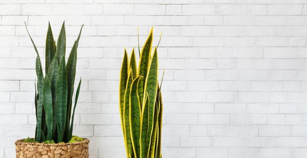good indoor plants for cleaner air two snake plants in pots by white brick wall