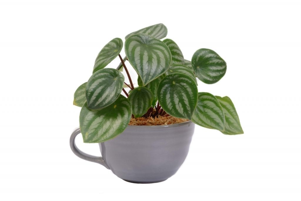 easy care little peperomia is potted in a small tea cup