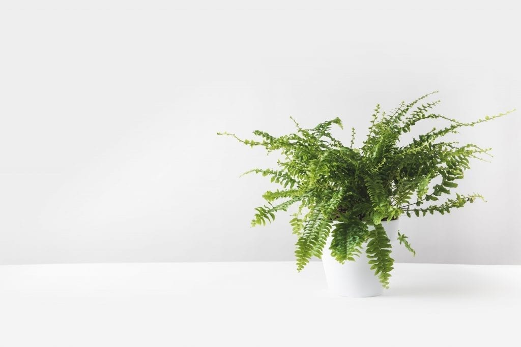 sword fern in a white pot on white table