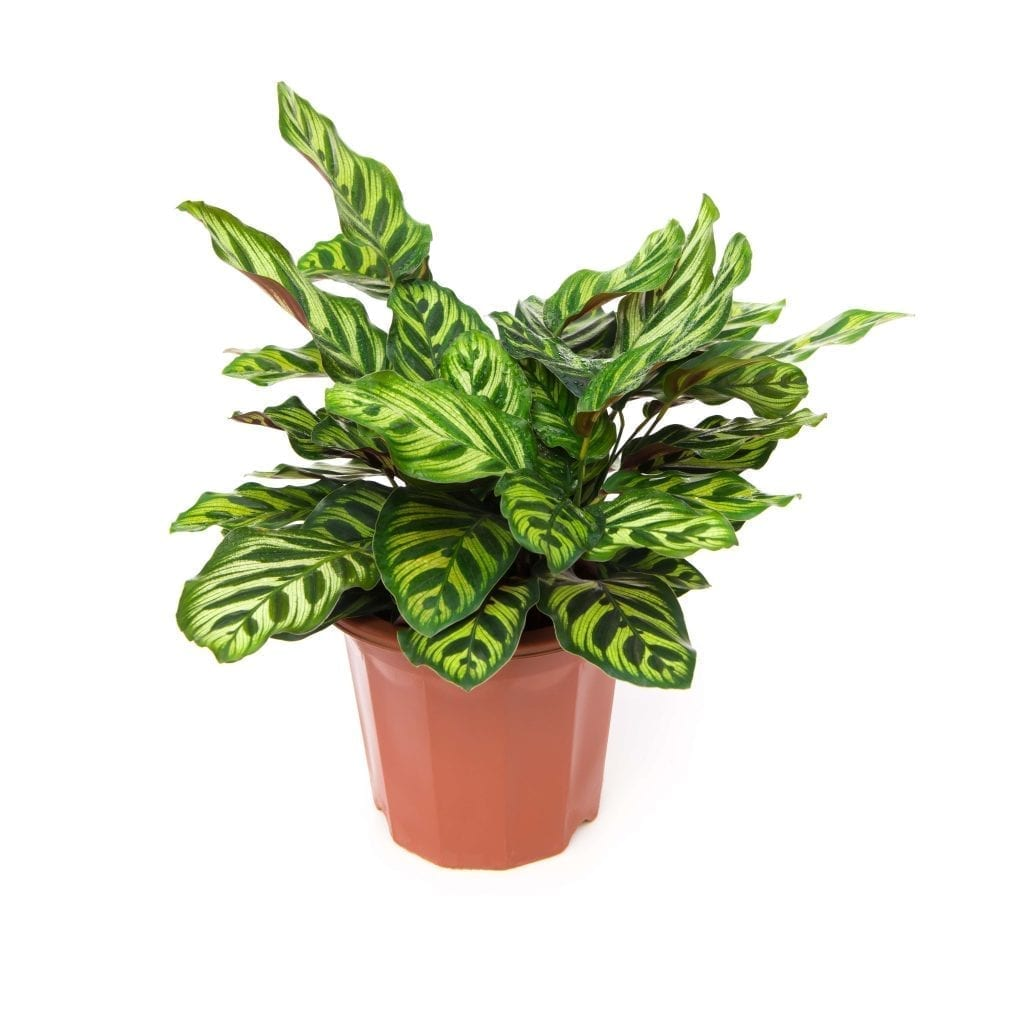 easy care prayer plant has colorful foliage on a white background