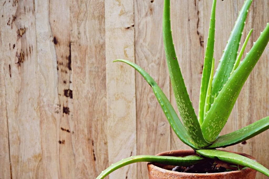 aloe vera plant in red pot on a wooden table