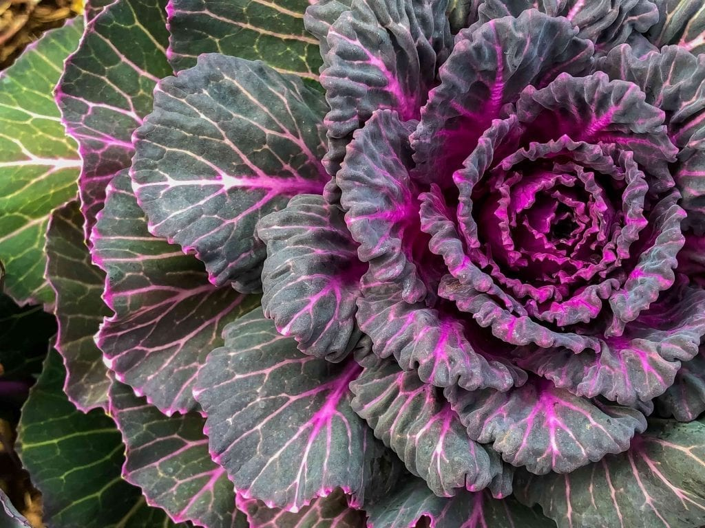 purple and green ornamental cabbage plant