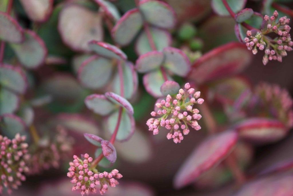 Beautiful-pink-flowers-of-perennial-succulent-Sedum-cauticola-cliff-stonecrop-growing-in-the-pot