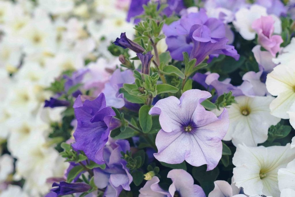 plants to use for containers purple and white petunias