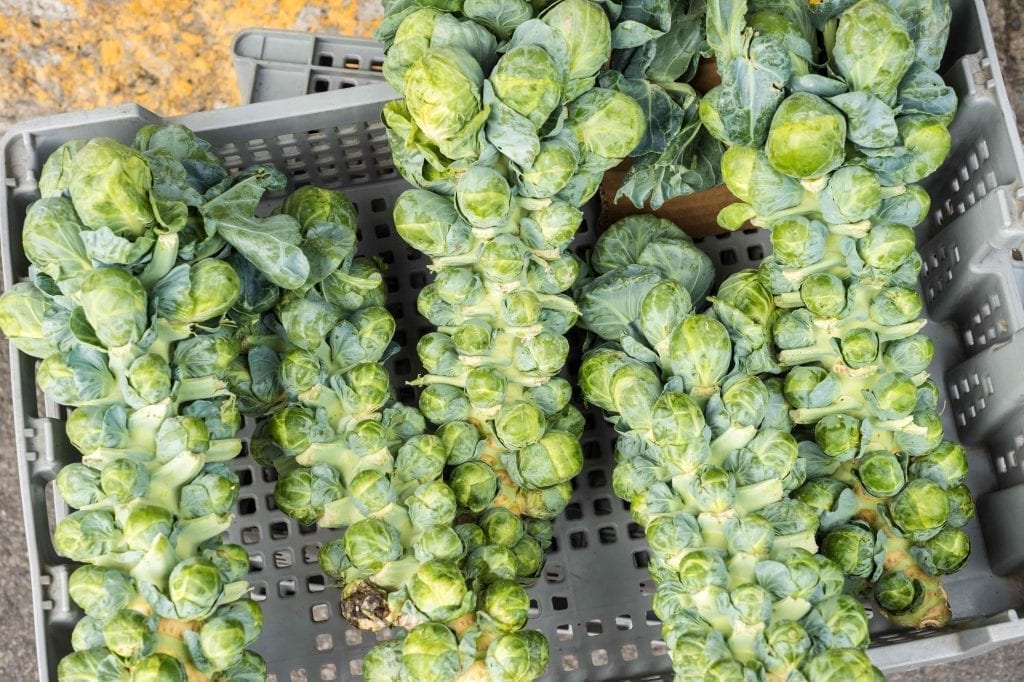 brussels sprouts on the stem with basket in background