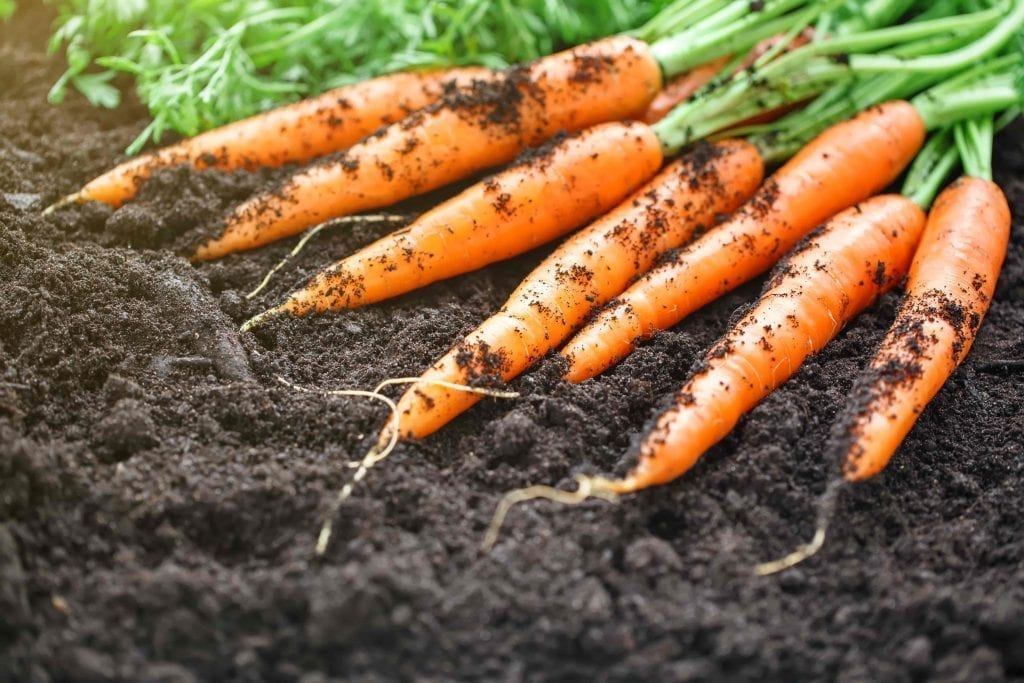 carrots and tops lying on top of soil