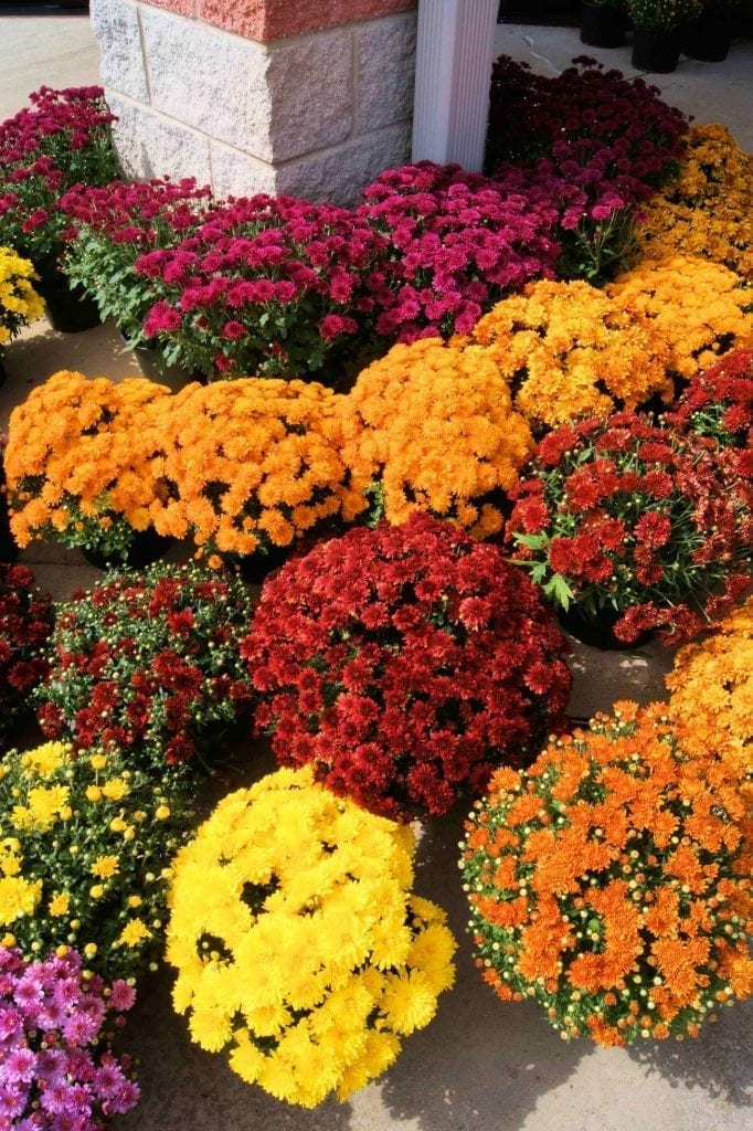 colorful orange, yellow and red chrysanthemums in pots