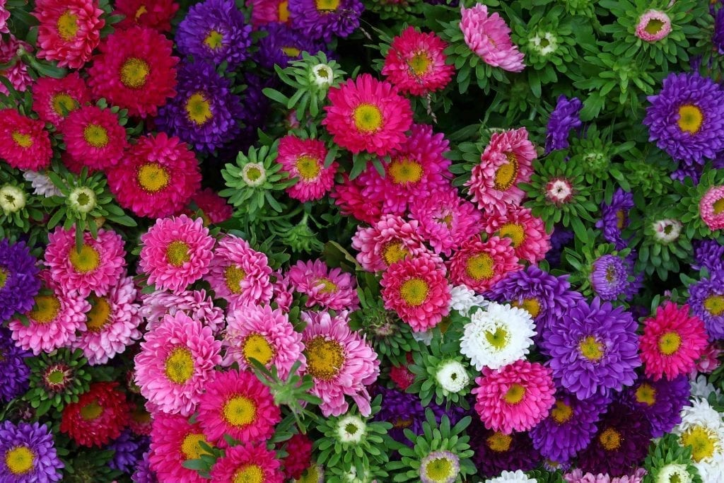 Close-up-background-of-colorful-aster-flower-heads
