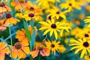 orange helenium and yellow rudbeckia in the fall garden