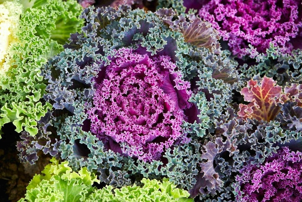 flowering kale in purple, pink and green colors