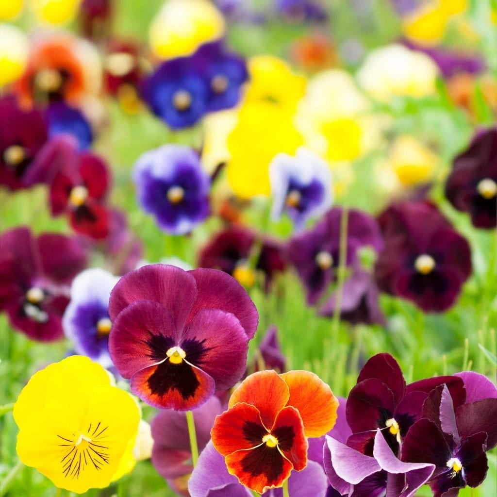 Plants to use for containers pansy flowers come in all colors yellows, reds, blues and purples