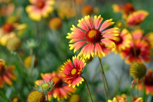 blanket flowers are orange with yellow fringes