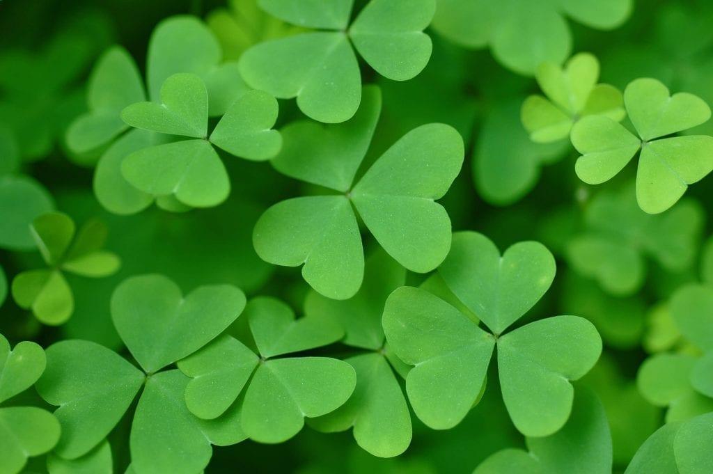 green shamrock or oxalis leaves
