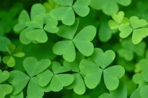 green shamrock or oxalis house plant