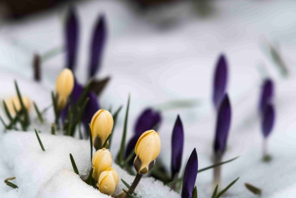yellow and purple crocuses coming up through snow