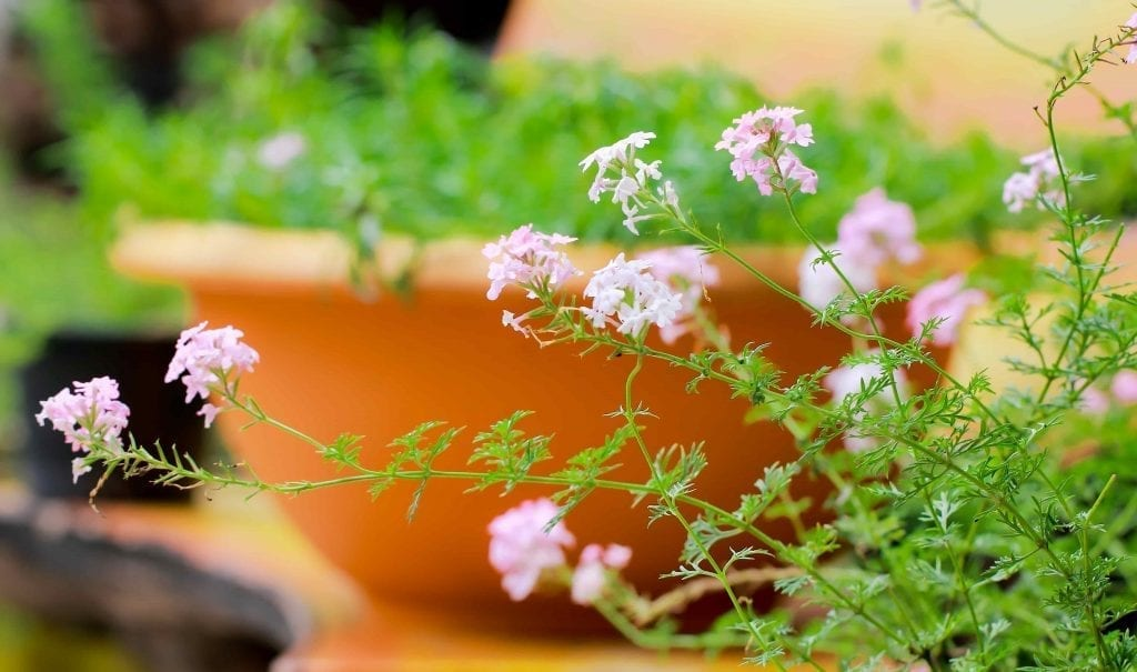 pink verbena flowers on green stems for the fall planter
